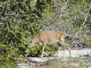 Key deer - just one of many endangered species