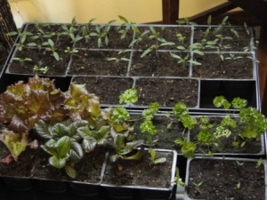 lettuce and tomatoes - March 7, 2013