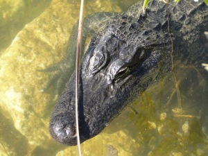 gator captured by the camera and zoom lens