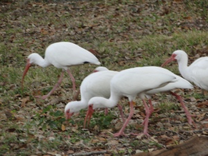 ibis roaming in a yard in Tarpon Springs, Florida