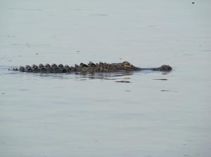 Alligator on a lake near Tallahassee