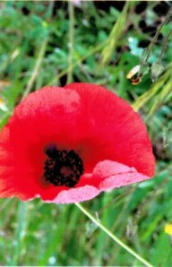 Italian roadside poppy
