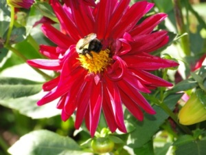 bumble bee hard at work