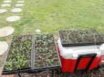 seedlings waiting for next planting