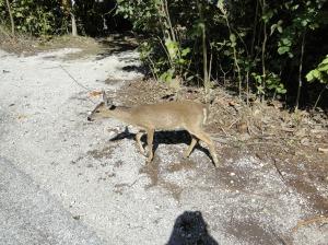Endangered Species - Key deer