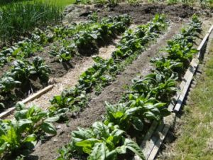 spinach beds 2012
