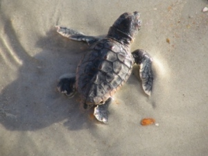 Loggerhead hatchling 2006 Photo by P.C. Zick