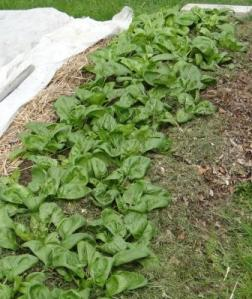 Spinach ready to pick