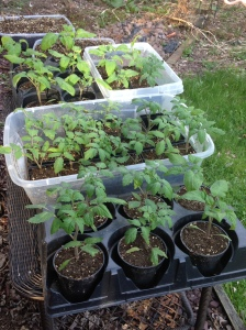 Tomato and pepper plants wait for warmer soil
