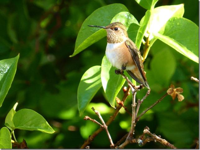 Hummingbird - Guenette photo
